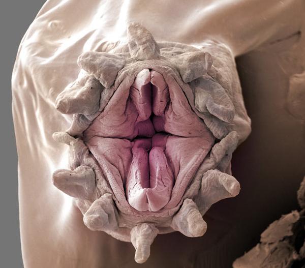 Vagina Worm