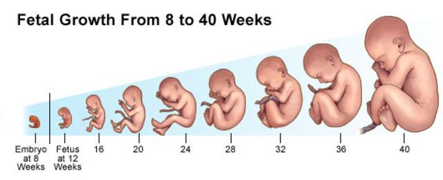 http://rewech.com/wp-content/uploads/2016/03/fetal-development.jpg